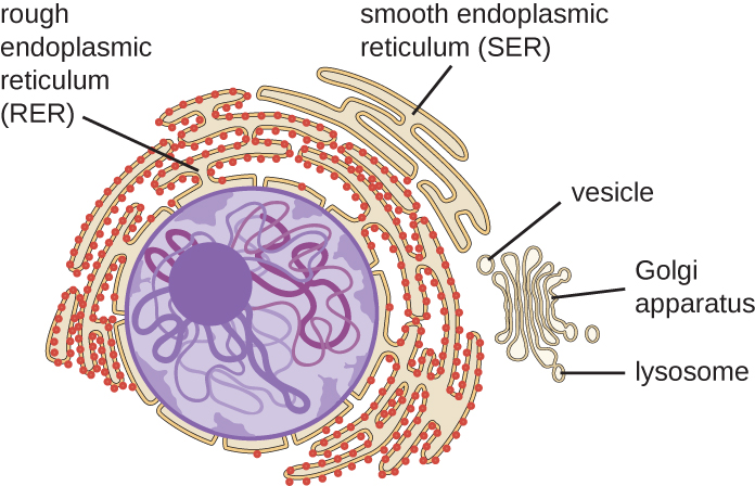 A diagram showing the nucleus and endomembrane system.