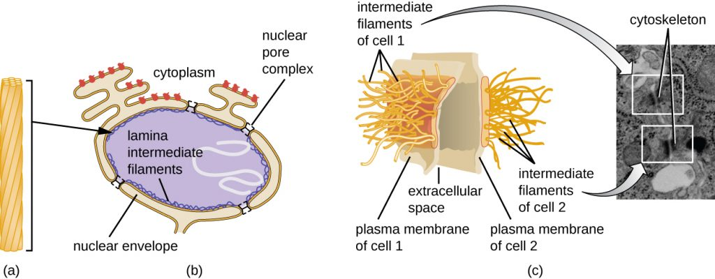 Diagram and electron micrograph depicting Intermediate filaments.
