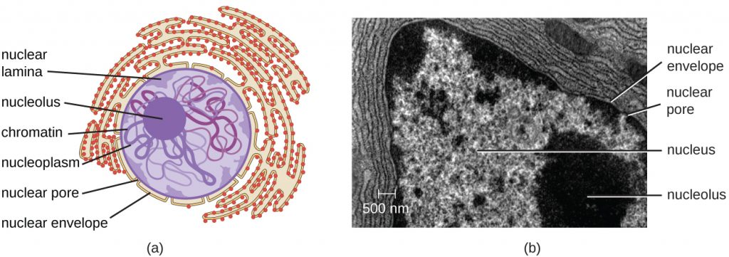 A diagram and electron micrograph showing the nucleus.