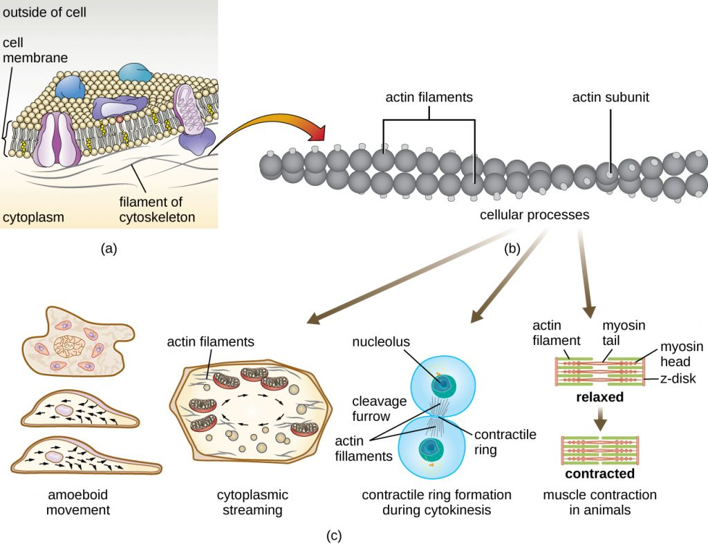 A diagram of the plasma membrane and the filaments of the cytoskeleton.