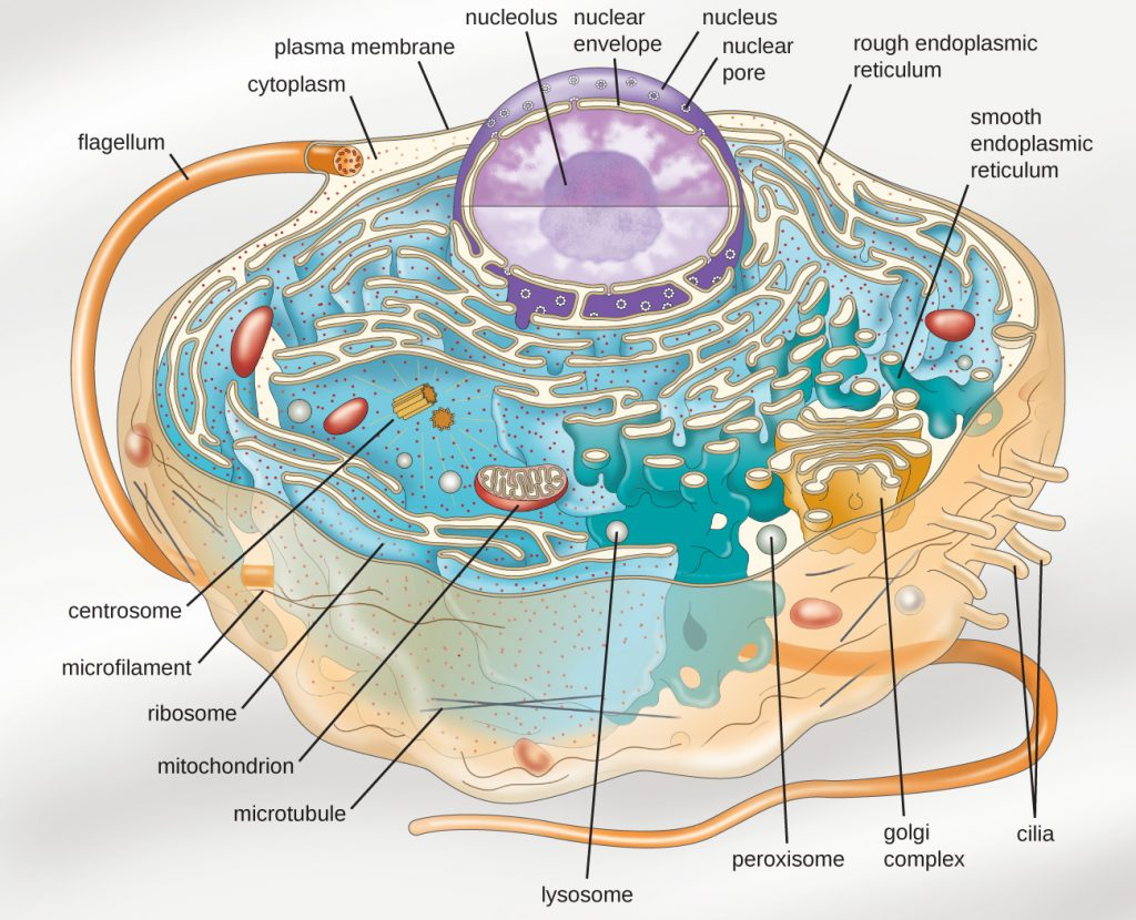 A diagram depicting the ultrastructure of a generalized single-celled eukaryotic organism.