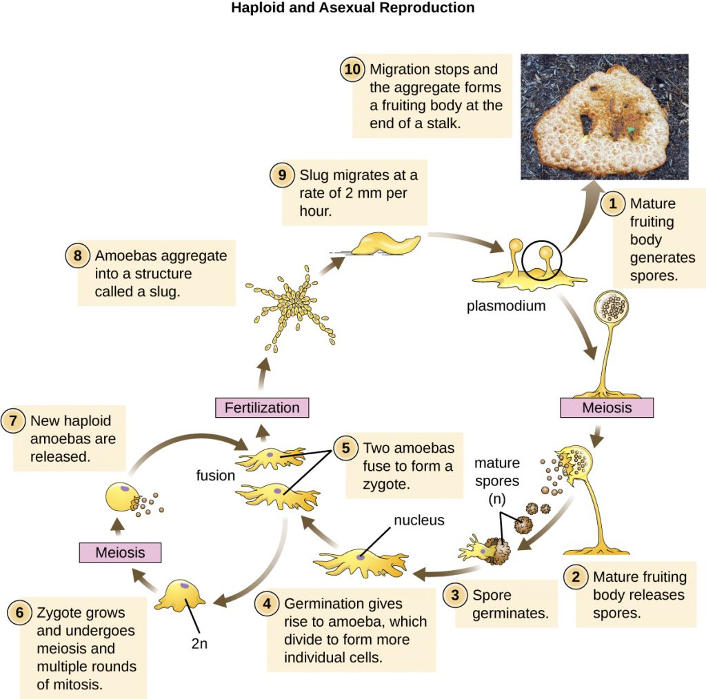 A diagram depicting the life cycle of the cellular slime mould Dictyostelium discoideum.