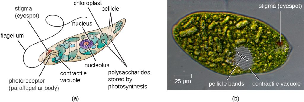 A diagram and micrograph of Euglena.