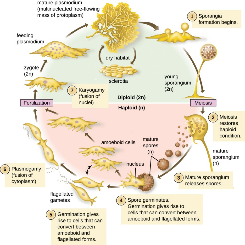 A diagram depicting the life cycle of plasmodium.