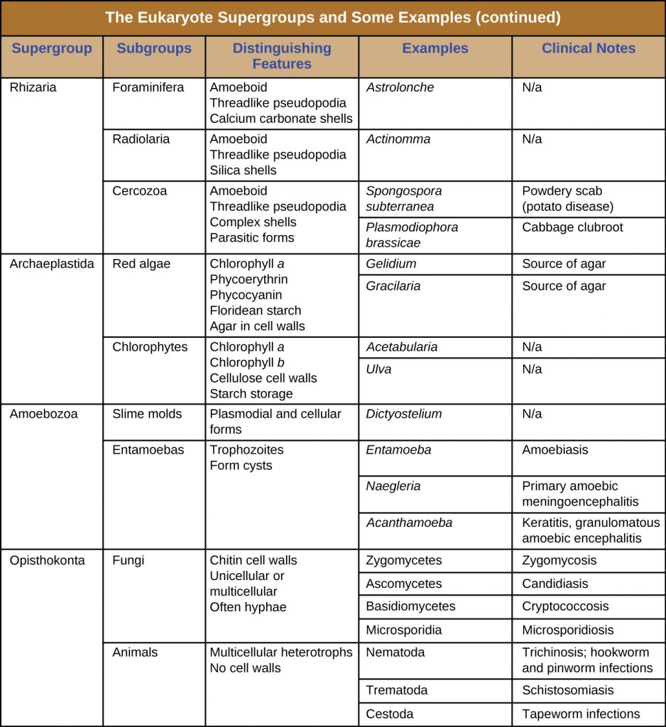 Table summarizing the eukaryote supergroups and some example species.