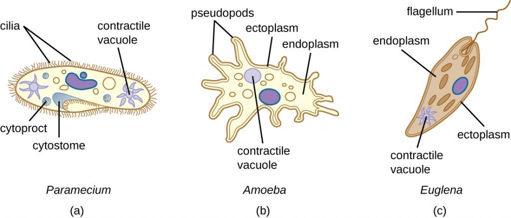 Diagrams of Paramecium, Amoeba and Euglena.
