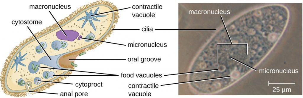 A diagram and micrograph of Paramecium.