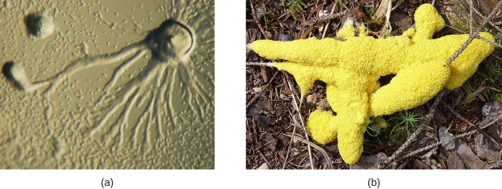 a) A micrograph showing a circular dome with long branches emanating outward. B) A photograph showing a yellow structure that looks like foam on a branch.