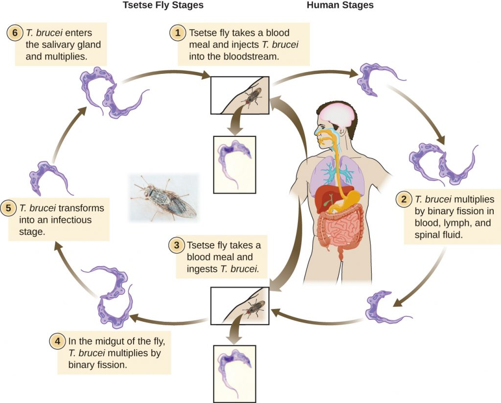 A diagram depicting the life cycle of Trypanosoma bruceli.