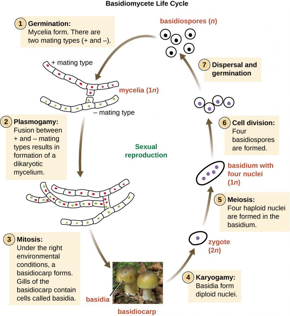 Diagram of the Basidiomycete life cycle.