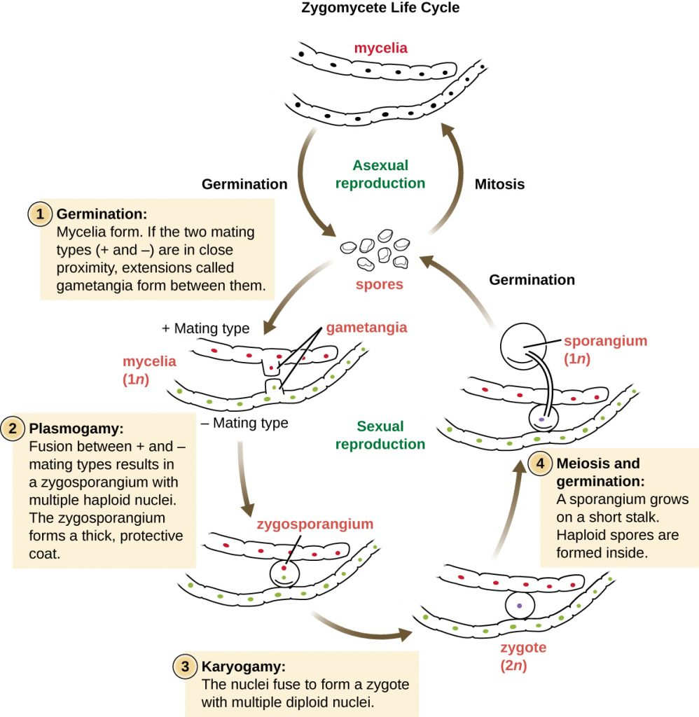 Diagram of the Zygomycete life cycle