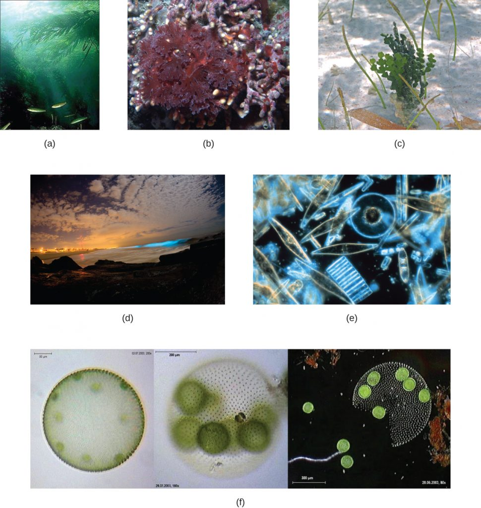 Various photographs and micrographs of different types of algae.