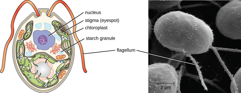 An oval cell with 2 flagella coming out of one end. A large circle in the cell is labeled nucleus. A group of smaller red circles are labeled stigma (eyespot). Green ovals in the cell are labeled chloroplast and white circles are labeled starch granules.