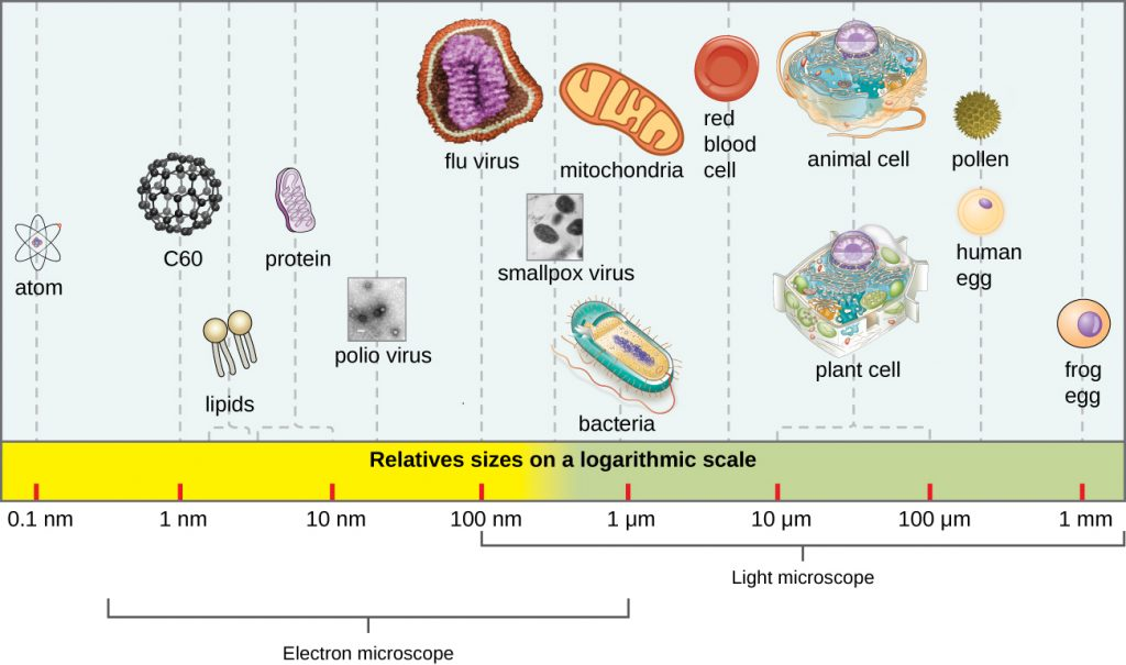 A scale showing sizes of various entities. The largest is a frog egg ad 1 mm. Human egg cells and pllen are approximately 400 µm. Typical plant ant animal cells reange from 10 to 100 µm. Red blood cells are uner 10 µm. Mitochondria and bacteria are approximately 1 µm. Smallpox is approximately 500 nm. Flu virus is approximately 100 nm. Polio virus is approximately 50 nm. Proteins range from 5 – 10 nm. Lipids range from 1 – 5 nm. Atoms are approximately 0.1 nm.
