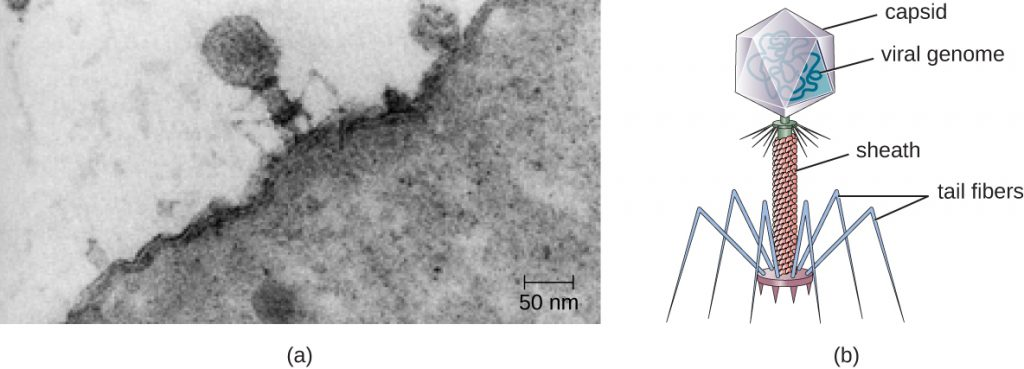 Figure a is an electron micrograph showing a virus on the surface of a bacterial cell. The virus has a large head region, a thick neck and thin spider-like legs attached to the bacterium. Figure b is a drawing that labels the outside of the head as the capsid with the viral genome inside. The neck as the sheath and the legs as tail fibres.