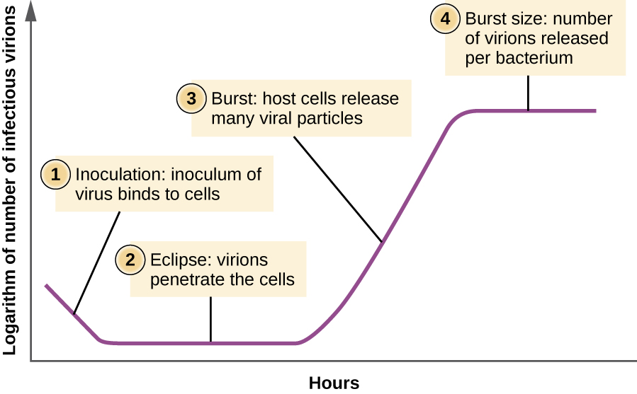 A graph depicting the multiplication of a lytic virus beginning with infection and ending with lysis.