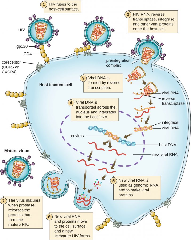 A diagram of the HIV life cycle.