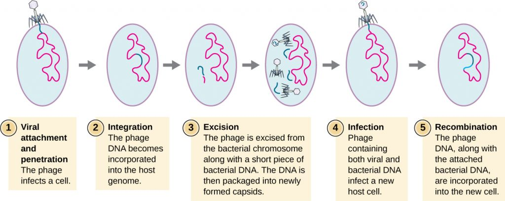 The steps of bacteriophage specialized transduction.