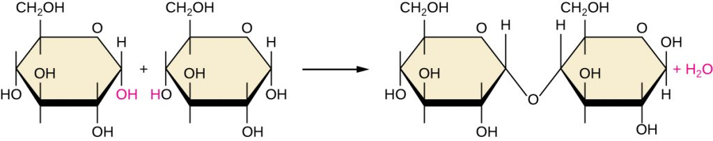 A diagram showing dehydration synthesis.