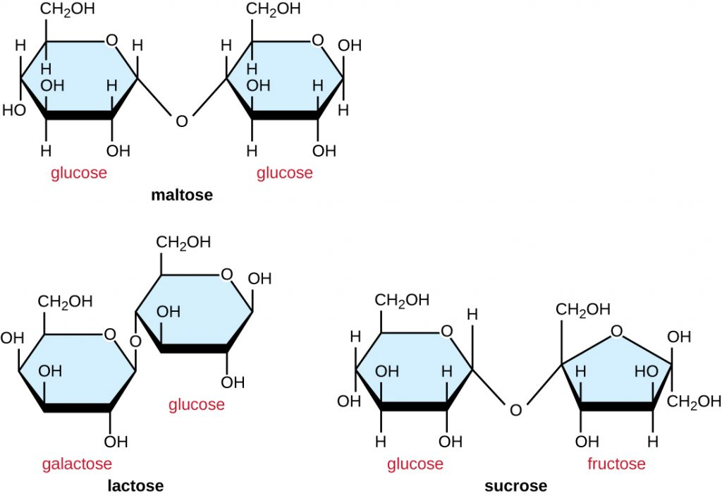 Maltose is made of 2 glucose molecules linked with O from Carbon 4 of one glucose to carbon 1 of the other. Lactose is made of a glucose linked to a galactose. Carbon 4 of glucose is linked to carbon 1 of galactose. Sucrose is made of a glucose and a fructose. Carbon 1 of glucose is bound to carbon 2 of fructose.