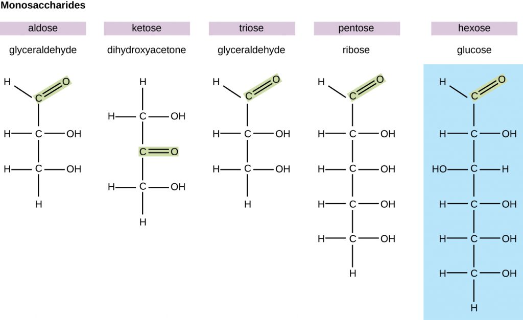 Diagrams of various monosaccharides. Glyceraldehyde is an aldose because it has a double bonded O attached to an end carbon. Dihydroxyacetone is a ketose because it has a double bonded O attached in the centre of the chain. Glyceraldehyde is a triose because it has 3 carbons. Ribose is a pentose because it has 5 carbons. Glucose is a hexose because it has 6 carbons.