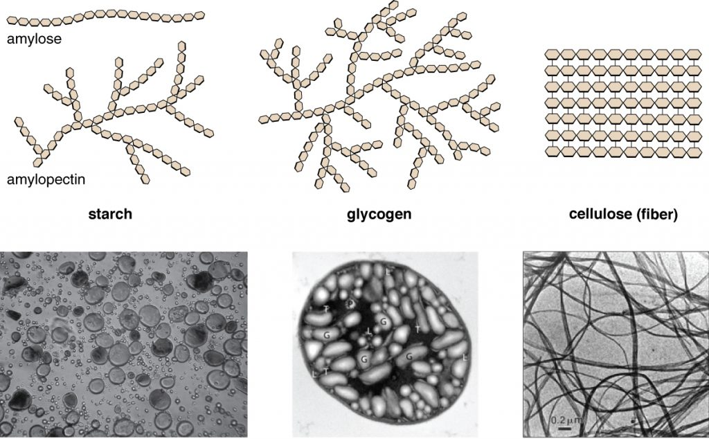 Amylose is a chain of hexagons. Starch is a branching chain of hexagons. Glycogen is a highly branching chain of hexagons. Cellulose (fibre) is many rows of hexagons attached into a flat square. Micrographs of starch look like water bubbles, glycogen look like ovals, and cellulose look like long strands.