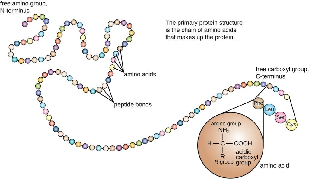 The primary protein structure is a chain of amino acids that makes up the protein. The image is a chain of circles (each circle is an amino acid). One end of the chain is the free amino group or N-terminus. The other end of the chain is the free carboxyl group or C-terminus. A drawing of a single amino acid shows a carbon with an H, an R group, a COOH (acidic carboxyl group) and an NH2 (amino group).