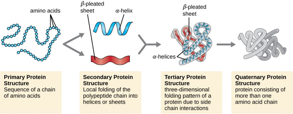 Primary protein structure: sequence of a chain of amino acids. This is shown as a chain of circles. Secondary protein structure: local folding of the polypeptide chain into helices or sheets. This is shown as a spiral labeled alpha-helix and a folded sheet labeled beta-pleated sheet. Tertiary protein structure: three-dimensional folding pattern of a protein due to side chain interactions. This is shown as a complex 3-D shape made of alpha helices and beta pleated sheets. Quaternary protein structure: protein consisting of more than one amino acid chain. This is shown as 2 complex structures similar to that seen at the tertiary level.