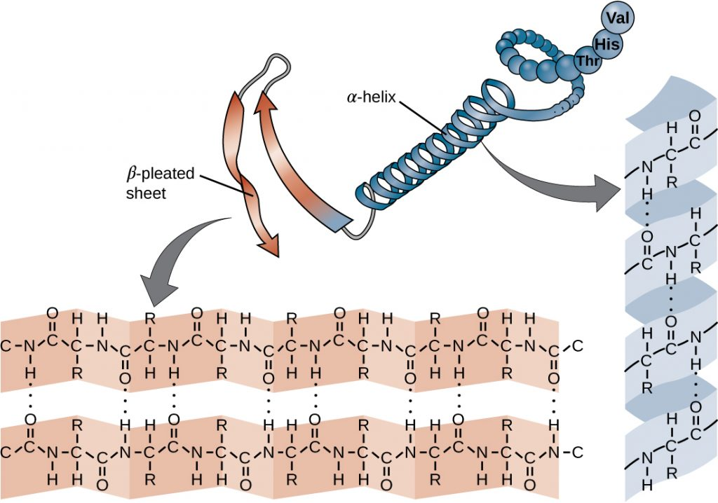 The secondary structure of a protein may be an α-helix or a β-pleated sheet, or both. A chain of spheres forms a spiral labeled alpha-helix. This chain also forms a ribbon that folds back and forth; this is labeled beta-pleated sheet. Closeups show that hydrogen bonds (dotted lines) between amino acids hold together these shapes.