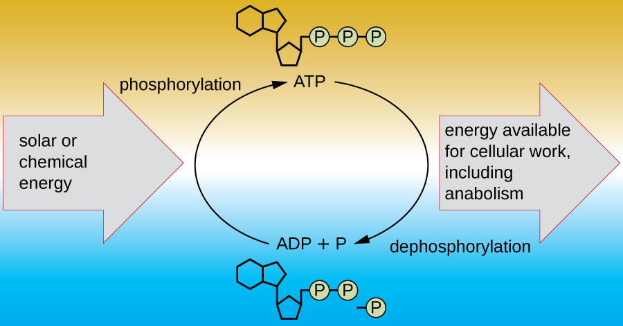 Diagram showing ATP at the top and ADP + p at the bottom. Building ATP from ADP + P is called phosphorylation and uses solar or chemical energy. Breaking down ATP into ADP + P is called dephosphorylation and the energy released is available for cellular work including anabolism.