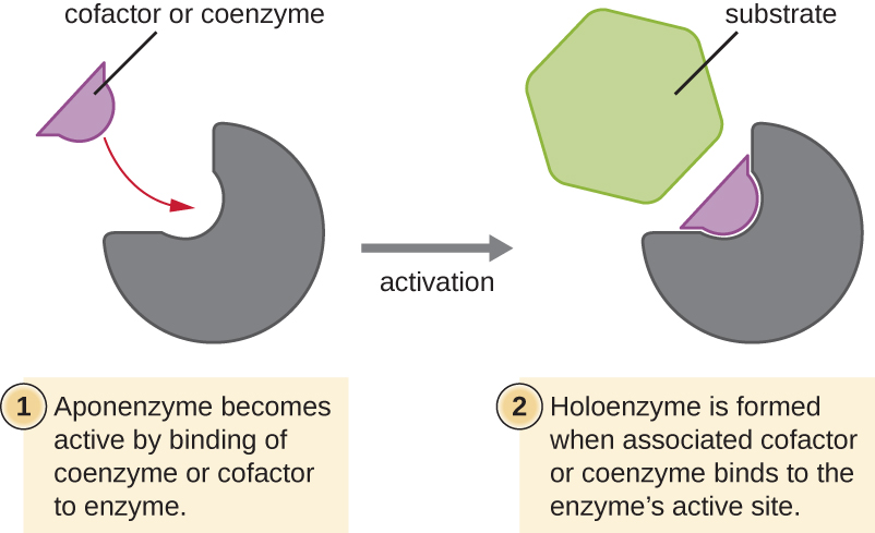 Diagram showing how a cofactor or coenzyme binds to the active site so that the shape of the active site is correct for binding the substrate. 1: apoenzyme becomes active by binding of the coenzyme or cofactor to enzyme. 2: Holoenzyme is formed when associated cofactor or coenzyme binds to the enzyme's active site.