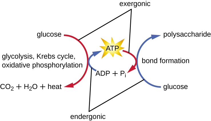 A diagram showing how ATP relates to both endergonic and exergonic reactions. Exergonic reactions such as the reaction that breaks glucose into carbon dioxide, water and heat is exergonic and builds ATP from ADP + Pi. This process involves glycolysis, Krebs cycle, and oxidative phosphorylation. Endergonic reactions, such as building glucose into polysaccharides (a process of bond formation) use the energy released when ATP is converted into ADP and P.