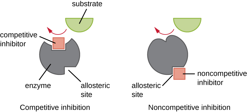 Diagram of competitive inhibition shows an enzyme with an active site at one end and an allosteric site at the other end. In competitive inhibition the competitive inhibitor binds to the active site blocking the substrate from binding. In noncompetitive inhibition, the noncompetitive inhibitor binds to the allosteric site and changes the shape of the active site so that the substrate cannot fit.