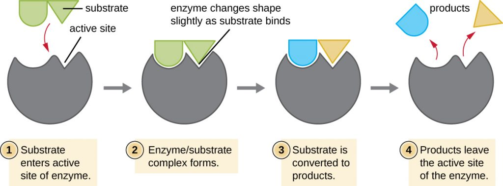 Diagram of the induced-fit model of enzymes.