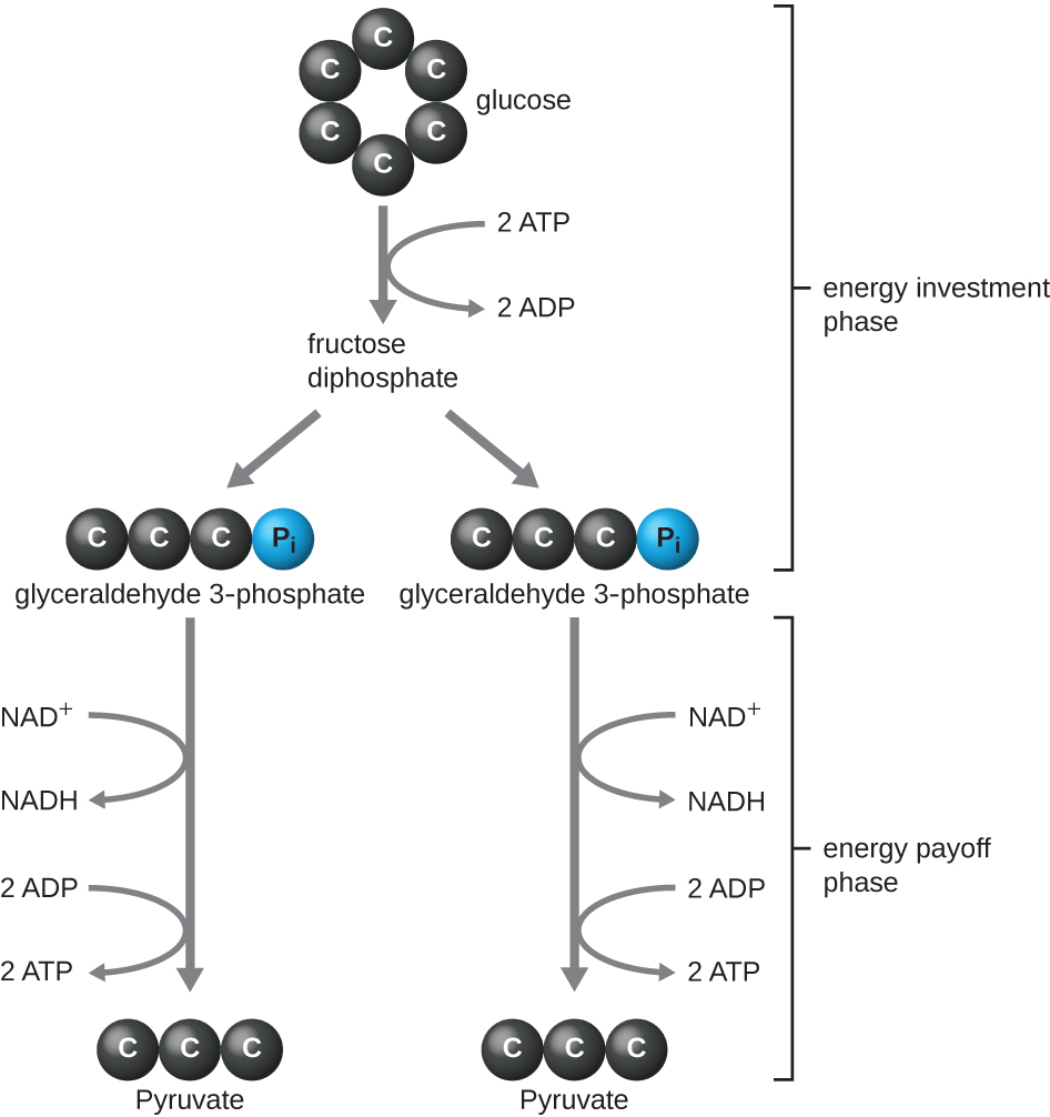 The energy investment phase in when glucose is converted into two molecules of glyceraldehyde 3-phosphate. Glucose is a 6 carbon ring. Glyceraldehyde 3-phosphate is a 3 carbon chain with a Pi attached to one end. This process uses 2 ATP and has fructose diphosphate (not drawn) as an intermediate. The energy payoff phase is when each glyceraldehyde 3-phosphate is converted into pyruvate. This builds 1 NADH and 2 ATP per glyceraldehyde 3-phosphate.