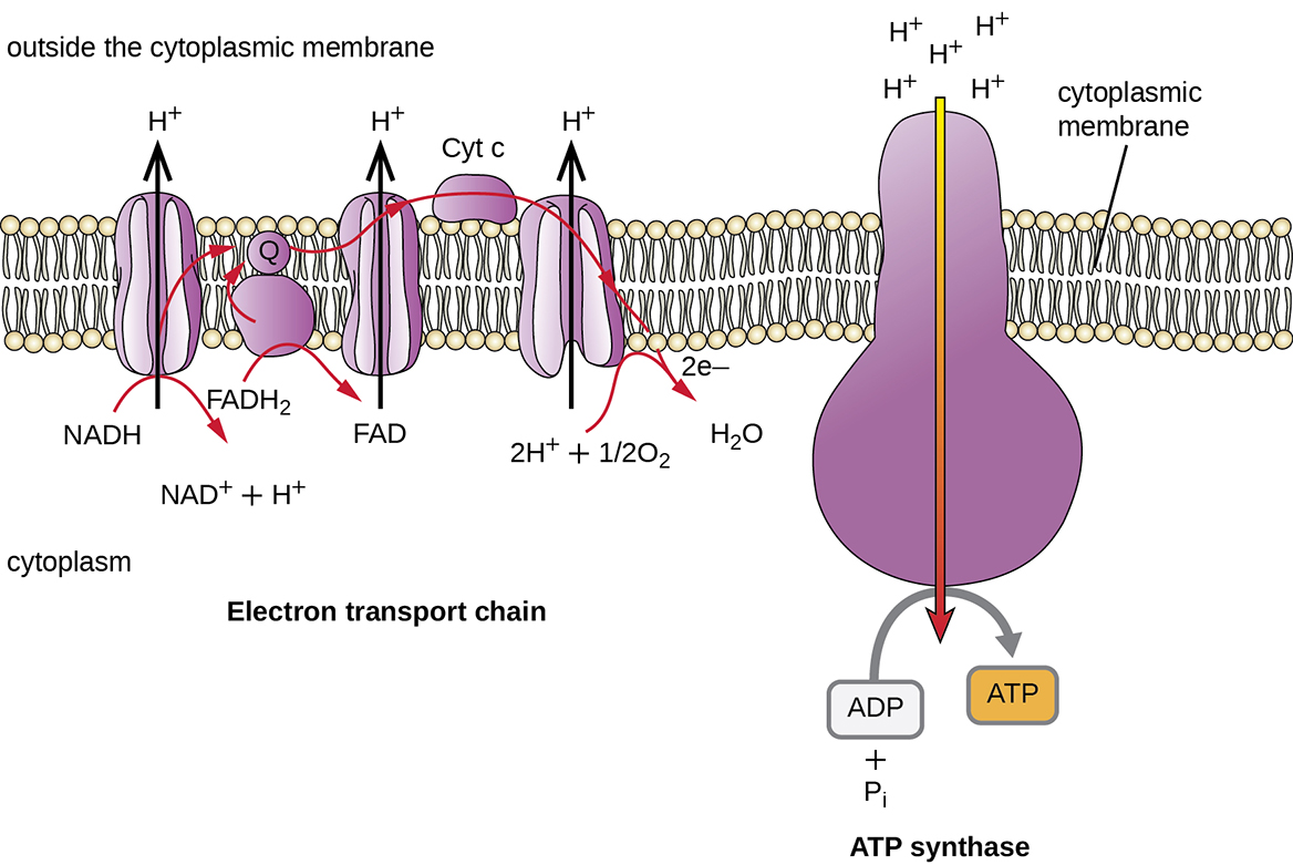 Figure summarizing the pumping of protons across the prokaryotic plasma membrane as a result of electron flow through the ETS. The ATP synthase enzyme is a proton-specific channel that spans the cytoplasmic membrane and couples the flow of protons down their concentration gradient with the synthesis of ATP from ADP + Pi.