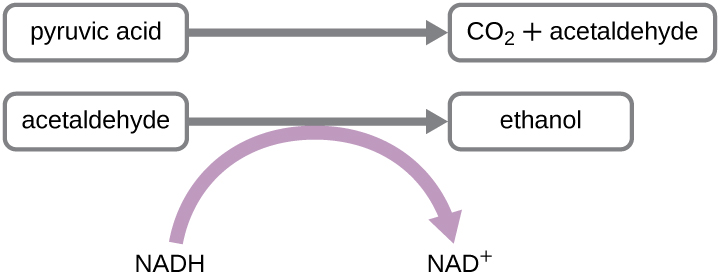 Pyruvic acid is converted to CO2 and acetaldehyde. Acetaldehyde is converted to ethanol; in this process NADH is converted to NAD+