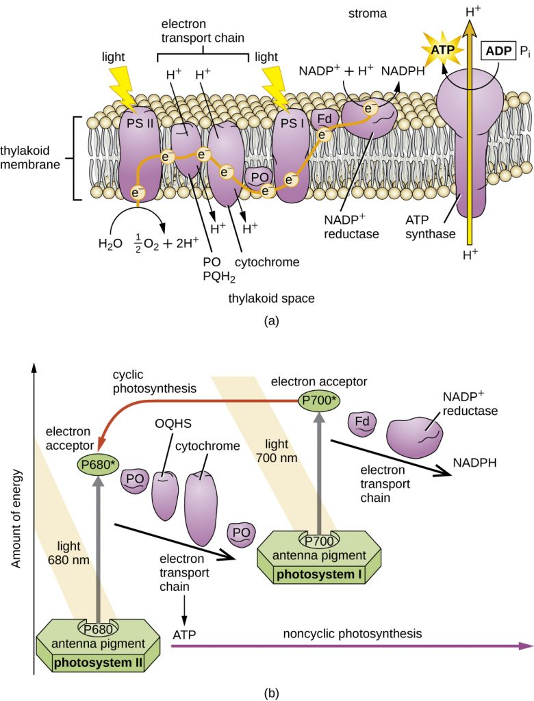 Diagram of the thylakoid membrane and the two photosystems within the membrane.