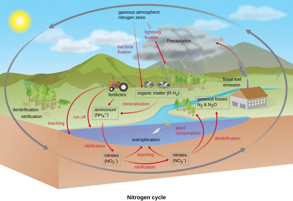 The nitrogen cycle. Gaseous atmospheric nitrogen shore; this moves into organic matter (R-H2) through bacterial and lightning fixation. Fertilizers and mineralization produce ammonium (NH4+). This can enter waterways via run off and leaching. Ammonium is converted to nitrates (NO2-) via nitrification. These are then converted to nitrates (NO3-) via nitrification. Both of these can end up in waterways causing eutrophication. Nitrates can be taken in by plants or converted to gaseous nitrate (N2) by denitrification.