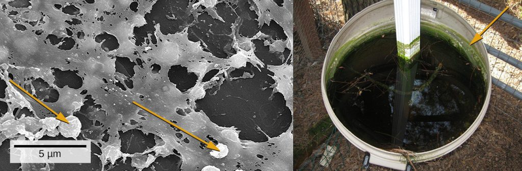 A micrograph showing spherical cells attached to a matrix on a surface. A photo of green water in a bucket.