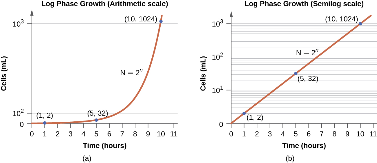 a) An arithmetic scale graph showing log phase growth. The X axis is time (hours) and the Y ais is cells per ml. The line on this graph starts fairly flat with readings of (1,2) and (5,32) but quickly slopes up steeply with a final reading of (10, 1024). B) is a semilog scale graph of log phase growth. Again the X axis is time (hours) and the Y axis is cells per ml. But the intervals of the Y axis more clearly show the difference between 10 superscript 1 and 10 superscript 3. The line on this graph is a straight line diagonally across the graph with points of (1,2), (5,32) and (10,1024) – just like the first graph. The equation for both graphs is N=2 superscript n.