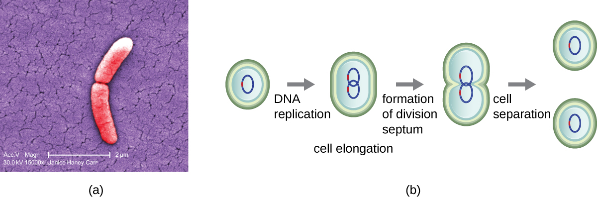 A) A micrograph of two rod shaped cells attached at their ends. B) A diagram of binary fission. First a cell replicates its DNA and elongates. Then, as the cell continues to elongate, each loop of DNA travels to one end or the other. The cell then starts to constrict in the centre. This results in two cells each containing a loop of DNA.