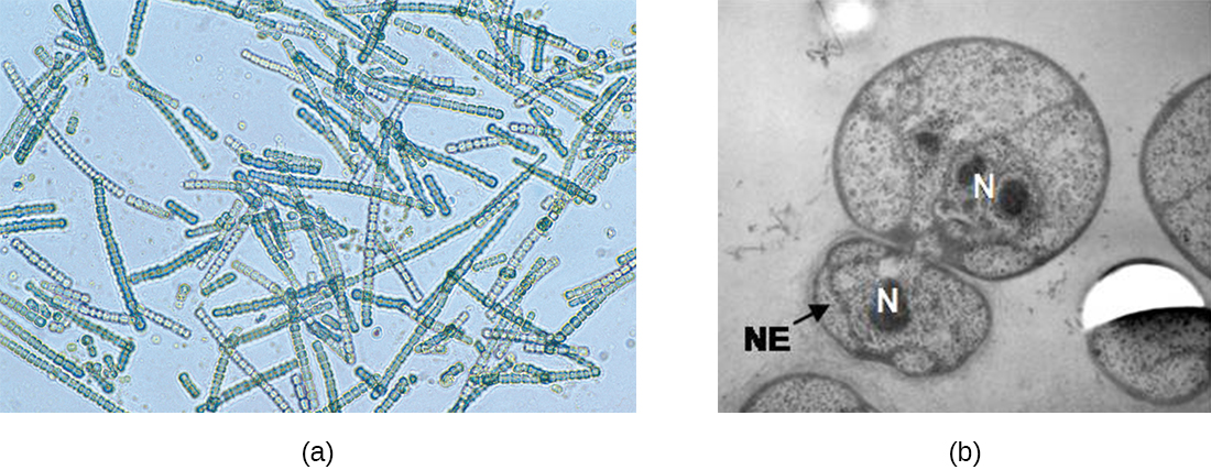 a) A micrograph showing chains of green spheres. B) A micrograph showing a larger sphere with a smaller sphere attached to it. The smaller sphere is labeled NE. Each of these spheres has a darker region labeled N.
