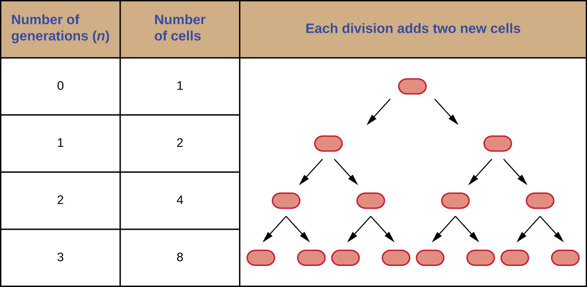 In generation 0 there is 1 cell. In generation 1 there are 2 cells. In generation 2 there are 4 cells. In generation 3 there are 8 cells.