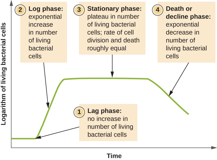 A graph with time on the X axis and logarithm of living bacterial cells on the Y axis. The line of the graph begins towards the bottom of the Y axis and is flat for a short time. This is labeled 1) lag phase: no increase in number of living bacterial cells. Next the line slopes upwards. This is labeled Log phase: exponential increase in number of living bacterial cells. Next the line flattens again. This is labeled 3) Stationary phase: plateau in number of living bacterial cells; rate of cell division and death roughly equal. Final the line slopes downwards. This is labeled 4) Death or decline phase: exponential decrease in number of living bacterial cells.