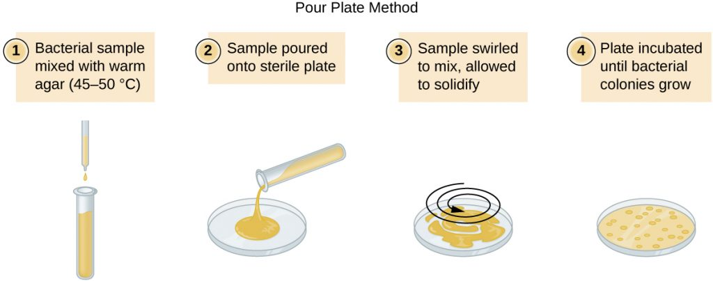 A diagram of the pour plate method. Step 1 – the bacterial sample is mixed with warm agar (45-50° C). Step 2 – the sample is poured onto a sterile plate. Step 3 – the sample is swirled to mix and allowed to solidify. Step 4 – the plate is incubated until bacterial colonies grow.