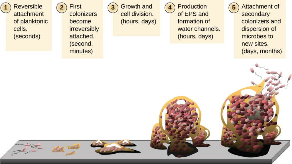 Diagram of the formation of a biofilm.