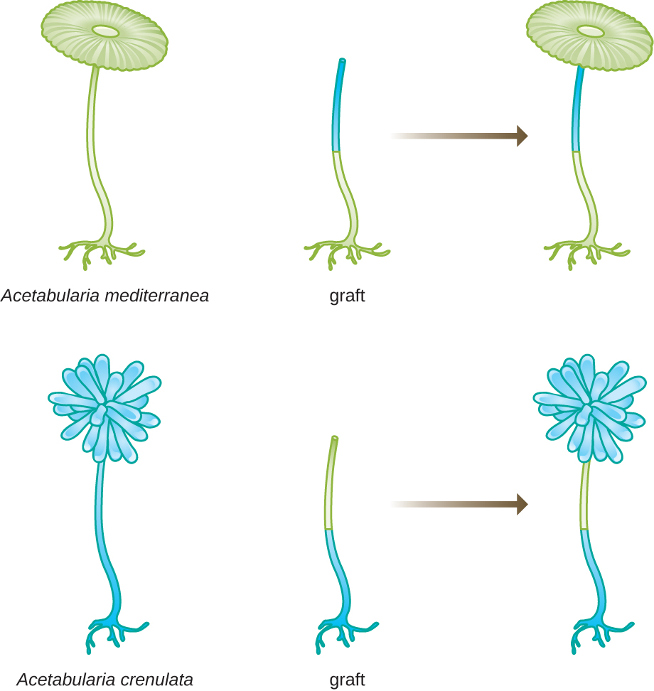 A diagram of 2 different Acetabularia; both have a foot and long stalk but A. mediterranea has a round top and A. crenulata has a pom-pom shaped top. If the foot of A. mediterranea is grafted on to the upper stalks of A. crenulata – the resulting cap looks like A. mediterranea (round). If the foot of A. crenulata is grafted on to the upper stalks of A. mediterranea – the resulting cap looks like A. crenulata (pom-pom shape).