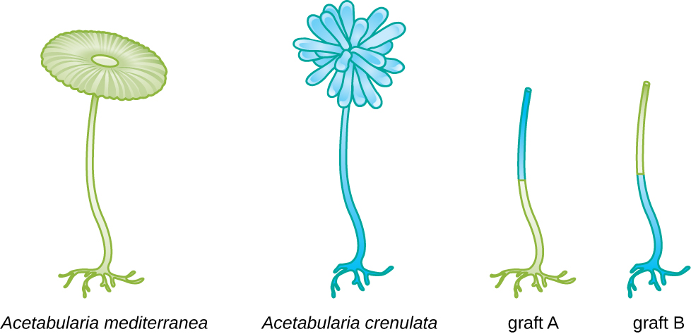A diagram showing a. mediterranea and A. crenulata. Graft A is of the foot of A. mediterranea and the upper stalk of A. crenulata. Graft B is of the foot of A. crenulata and the upper stalk of A. mediterranea.
