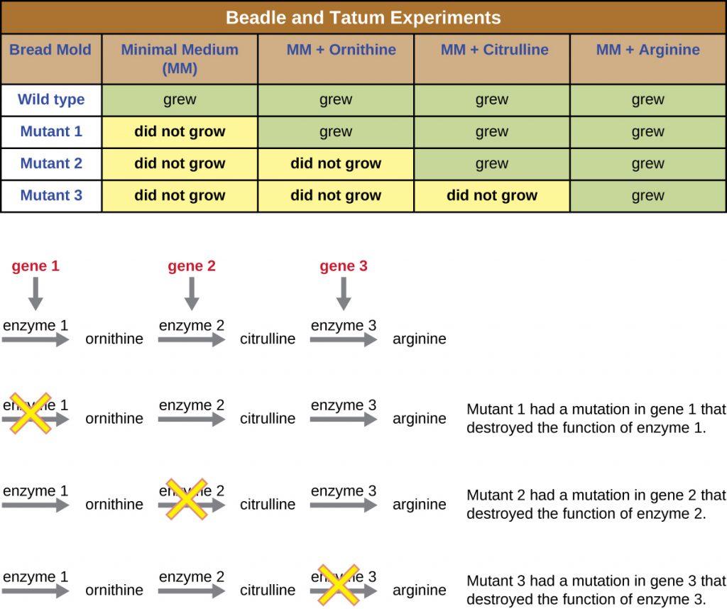 A table summarizing the Beadle and Tatum experiments